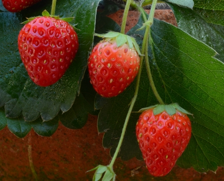 outdoor shot: Fragola pianta, colpo esterno