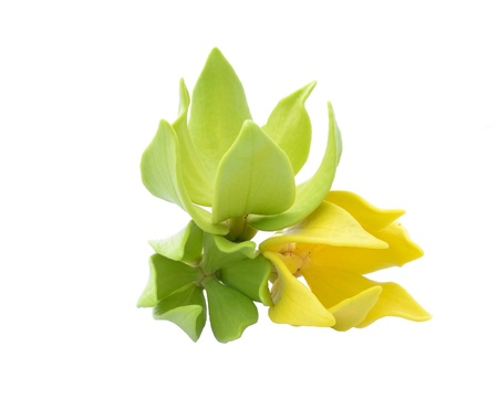 Dwarf ilang-ilang, Cananga odorata var  fruticosa, isolated on white background