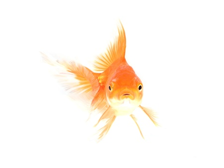 gold fish isolated on white Stock Photo - 17944778