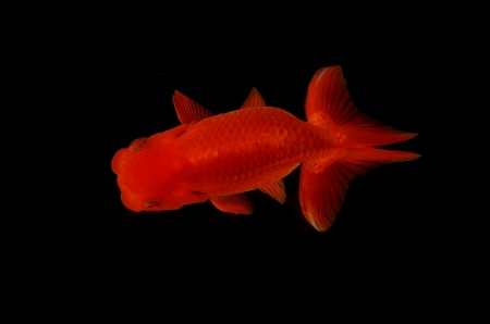 Top view Lion head goldfish on black background