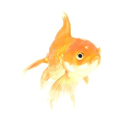 Gold fish  Isolation on the white Stock Photo - 17944775