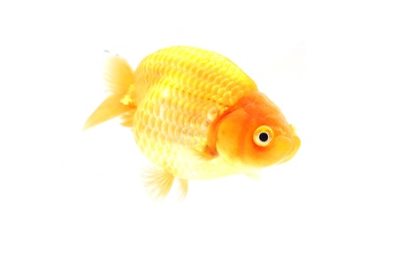 Gold fish. Isolation on the white Stock Photo - 17944996