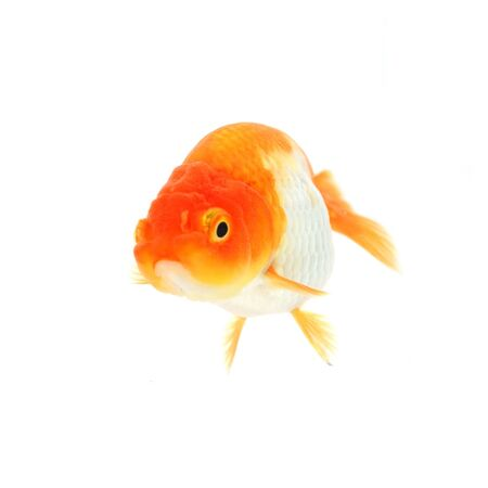 Gold fish. Isolation on the white Stock Photo - 17944770
