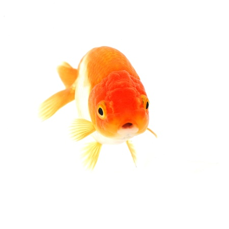 Gold fish. Isolation on the white Stock Photo - 17944771