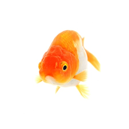 Gold fish. Isolation on the white Stock Photo - 17944772