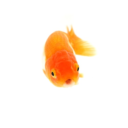 Gold fish. Isolation on the white Stock Photo - 17944768