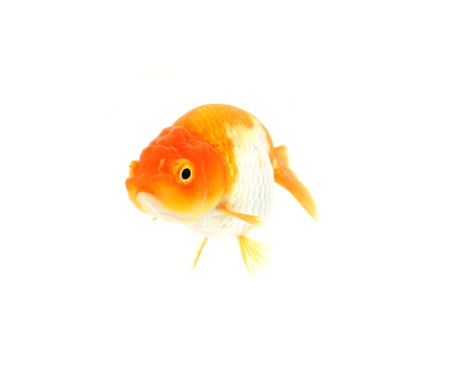 Gold fish. Isolation on the white Stock Photo - 17944773