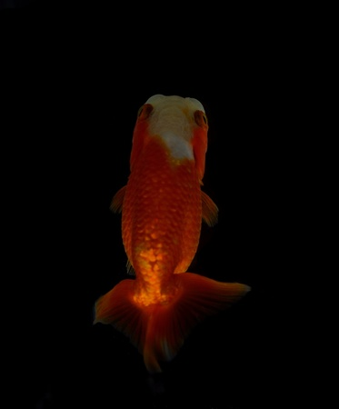 Top view Lion head goldfish on black background Stock Photo - 17944840