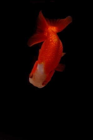 Top view Lion head goldfish on black background photo