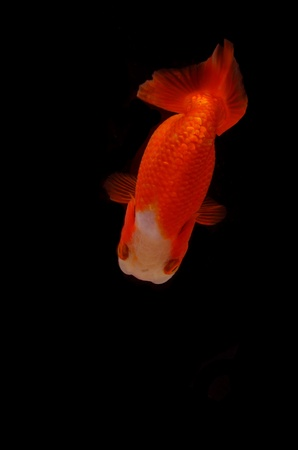 Top view Lion head goldfish on black background Stock Photo - 17944988