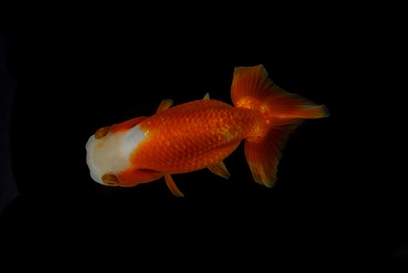 Top view Lion head goldfish on black background Stock Photo - 17944994