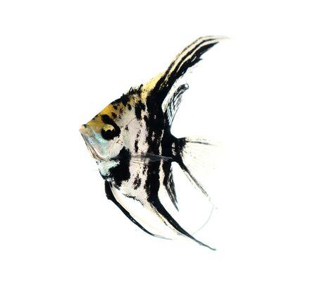 Angel fish Stock Photo - 17945108