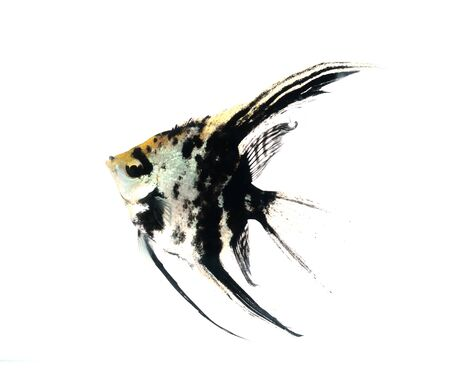 Angel fish Stock Photo - 17945053