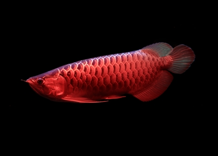 Asian Arowana fish on black background Stock Photo