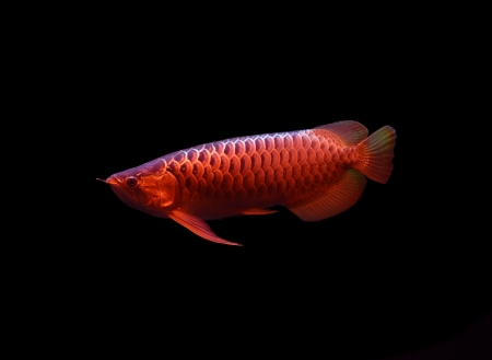 Asian Arowana fish on black background  Stock Photo - 17945006