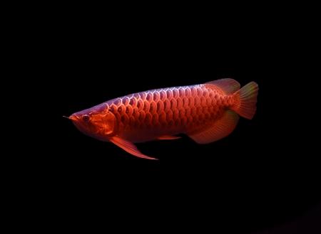 Asian Arowana fish on black background Stock Photo - 17945006