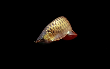 Asian Arowana fish on black background. Stock Photo - 17945168