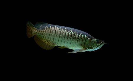 Asian Arowana fish on black background. Stock Photo - 17945170