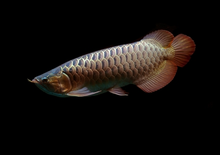 Asian Arowana fish on black background. Stock Photo - 18032013