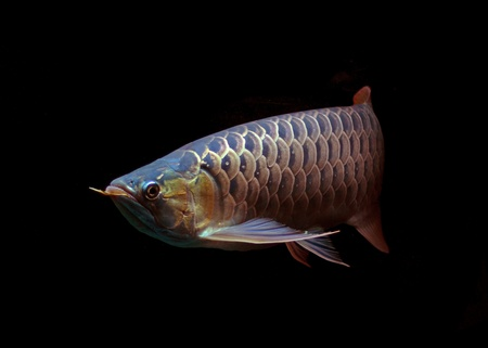egglayer: Asian Arowana fish on black background Stock Photo