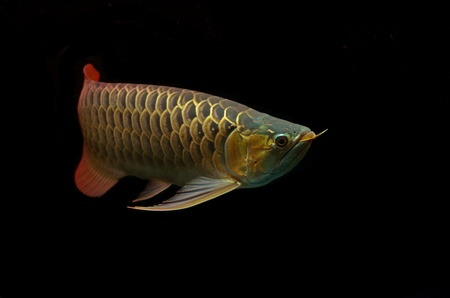 Asian Arowana fish on black background. Stock Photo - 18032014