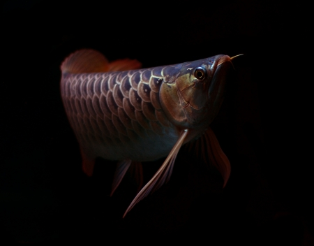 egglayer: Asian Red Arowana fish on black background Stock Photo