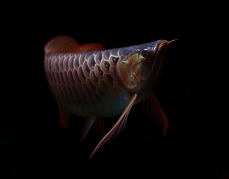 Asian Red Arowana fish on black background Stock Photo - 18094285