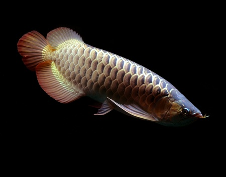 Asian Red Arowana fish on black background Stock Photo - 18094279