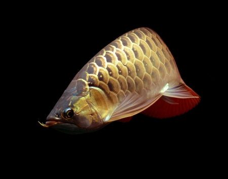 Asian Red Arowana fish on black background Stock Photo