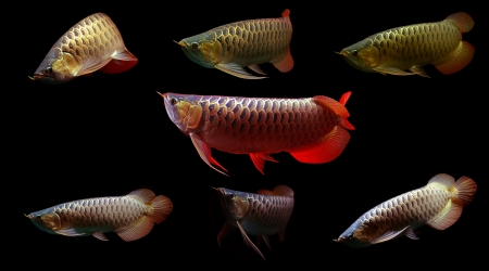 Asian Arowana Super Red  fish on black background Stock Photo