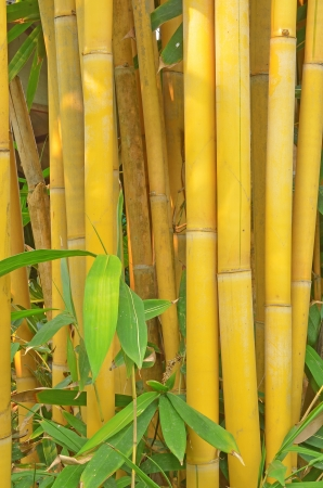 wild golden bamboo stems strand background texture