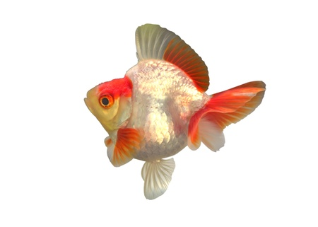 Gold fish  Isolation on the white Stock Photo - 18523488