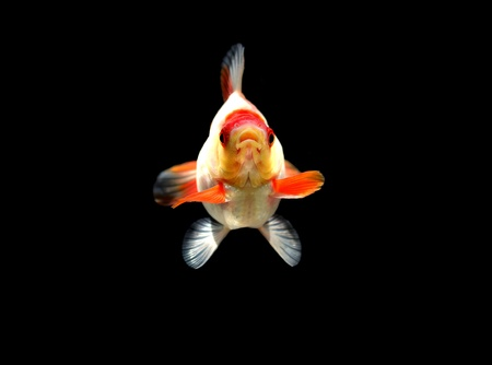 white goldfish on black background photo