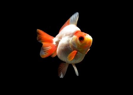 white goldfish on black background Stock Photo - 18523487