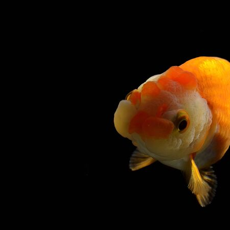 jelly head: fancy goldfish isolated on black background