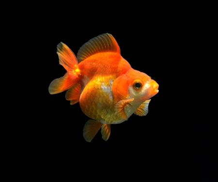 oranda: fancy goldfish isolated on black background