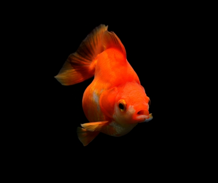 jelly head: goldfish on black background