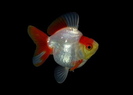 tanjo: fancy goldfish isolated on black background
