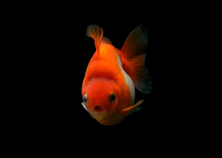 goldfish isolated on black background photo