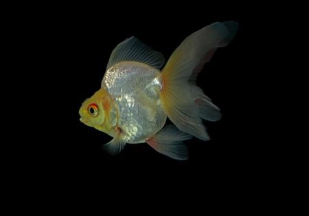 tanjo: goldfish isolated on black background