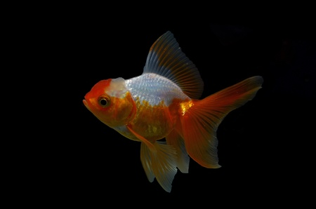 goldfish on black background photo