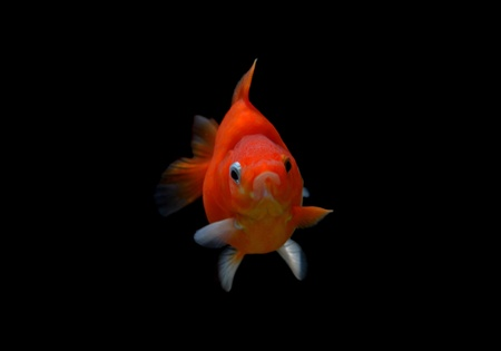 fancy goldfish isolated on black background Stock Photo - 18558006