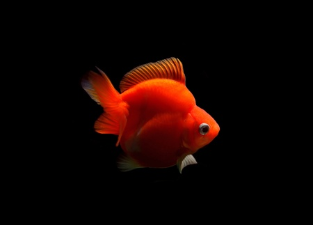 fancy goldfish isolated on black background Stock Photo - 18558032