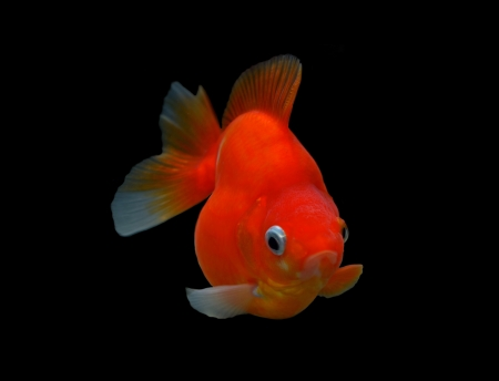 fancy goldfish isolated on black background Stock Photo - 18558029