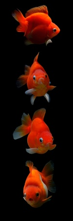 fancy goldfish isolated on black background Stock Photo - 18587607