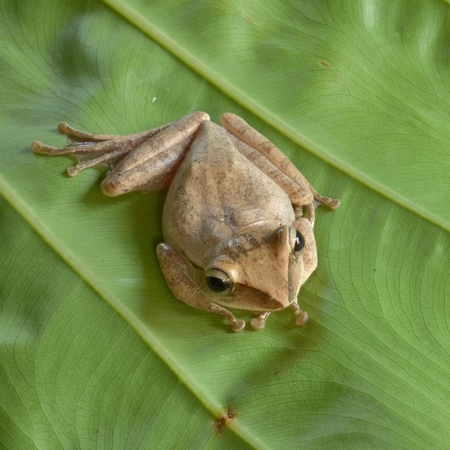 Frog at Khao Sok National Park, Thailand photo