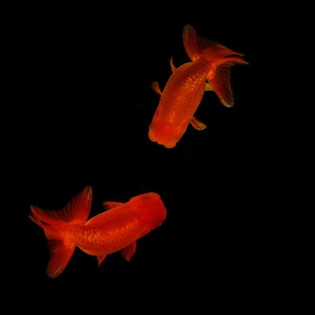 Top view Lion head goldfish on black background Stock Photo - 18981793