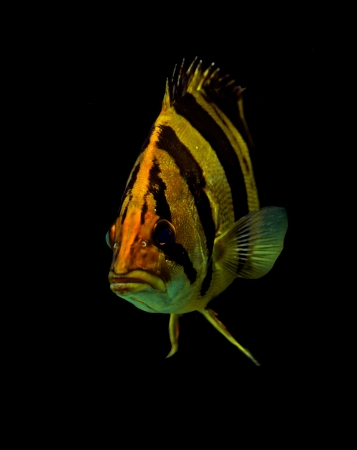 Siamese tigerfish  isolated on black background.