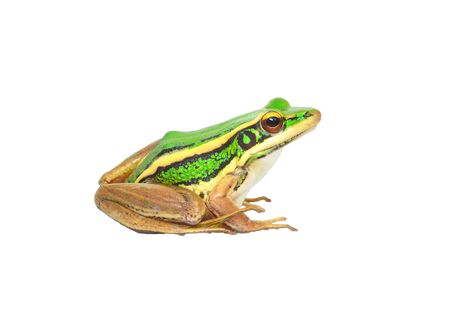 anura: Tree frog Stock Photo