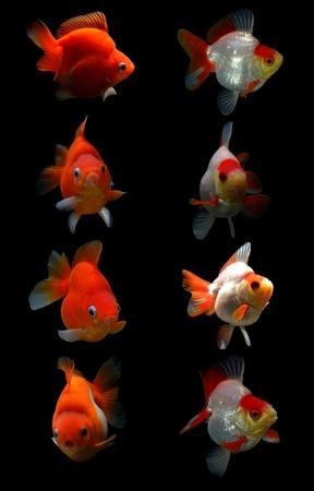 fancy goldfish isolated on black background Stock Photo - 19499897